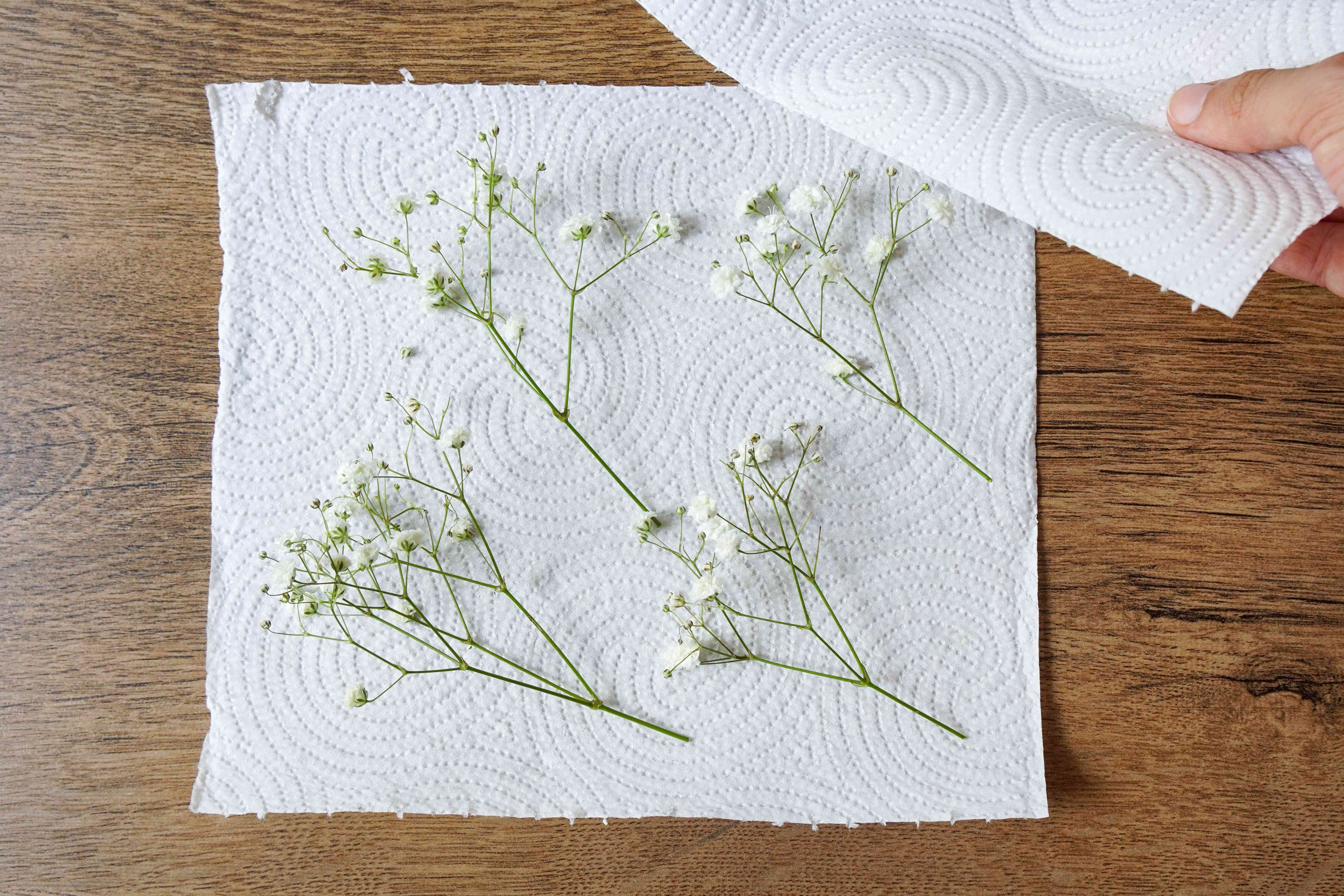 fresh baby's breath blooms on paper towel with another towel layered over