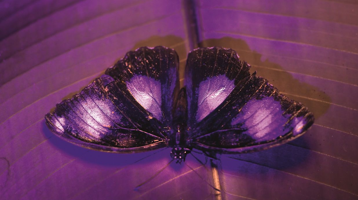 butterfly with UV camera
