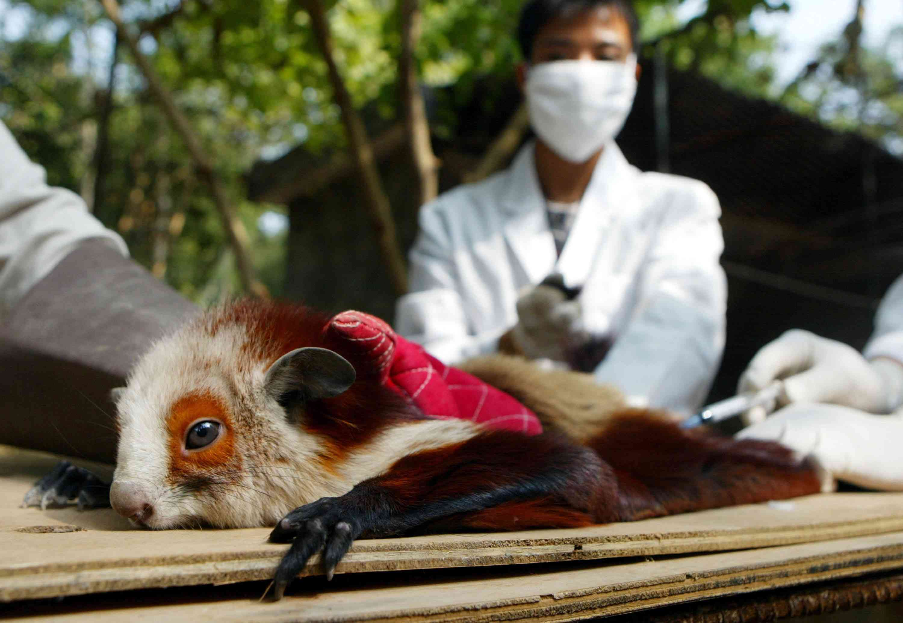Chinese red and white giant flying squirrel, Petaurista alborufus