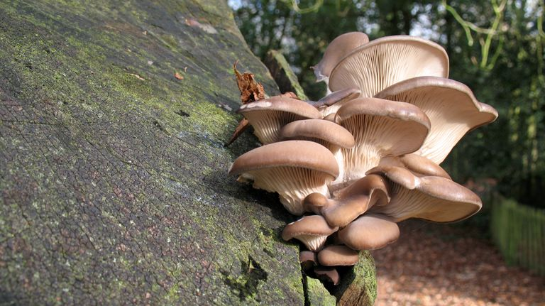 A cluster of oyster mushrooms