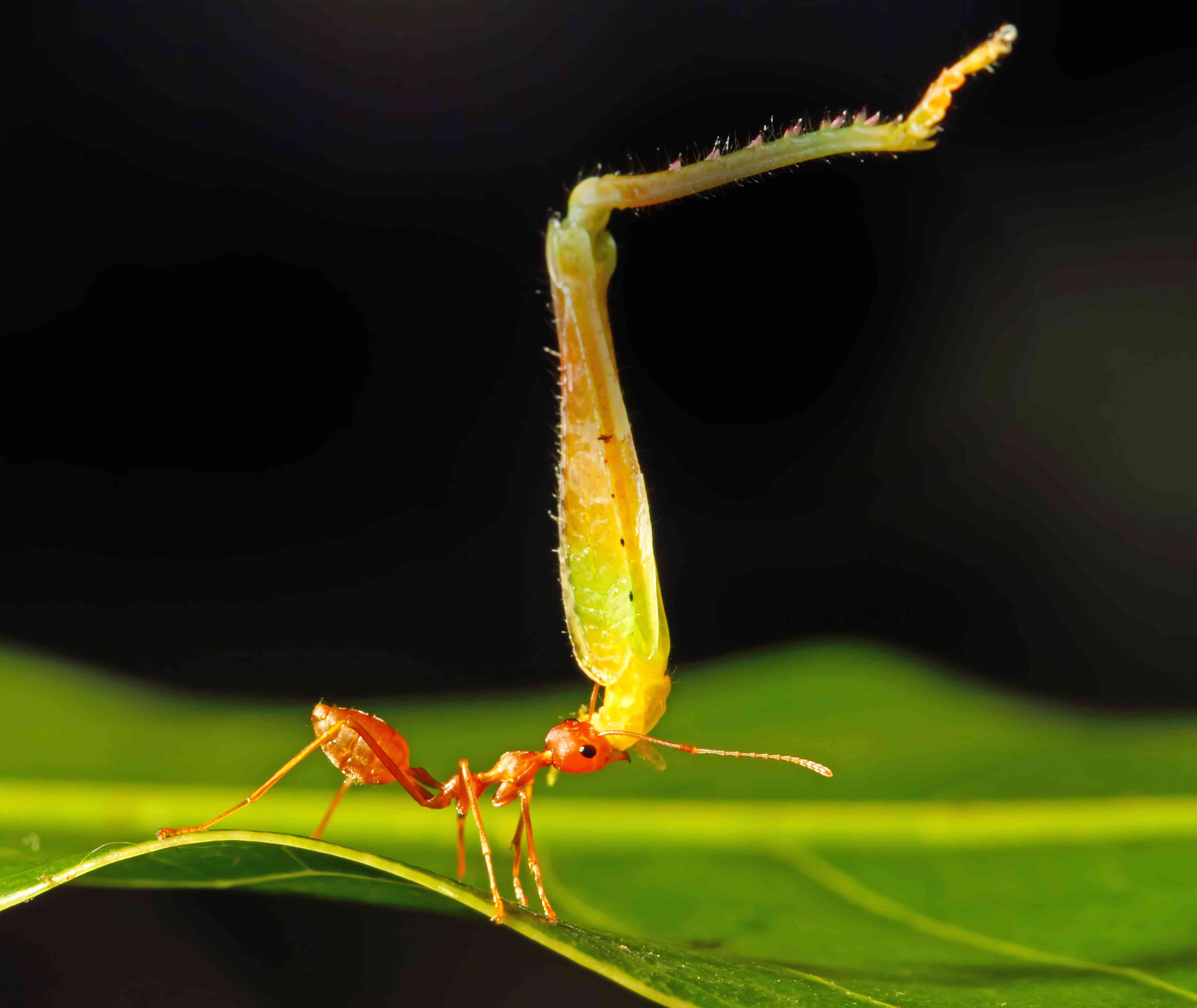 ant lifting insect leg