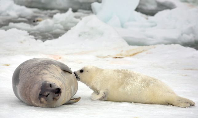 A gray and brown adult harp seal nursing a white harp seal pup