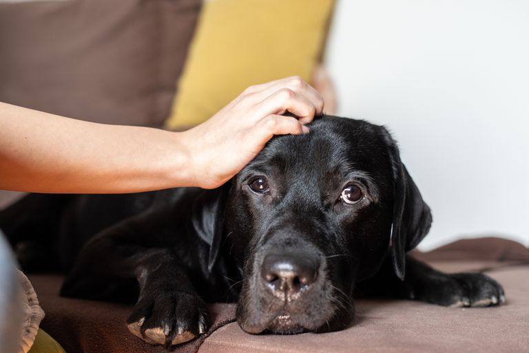 dog stares at camera, annoyed, while persons hand pets them on head