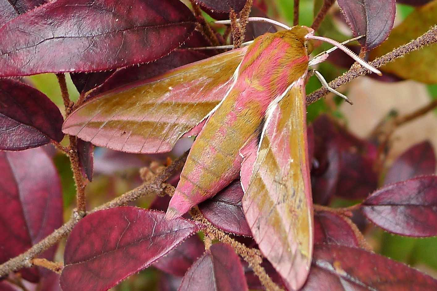 brown moth with pink markings on plant with red leaves