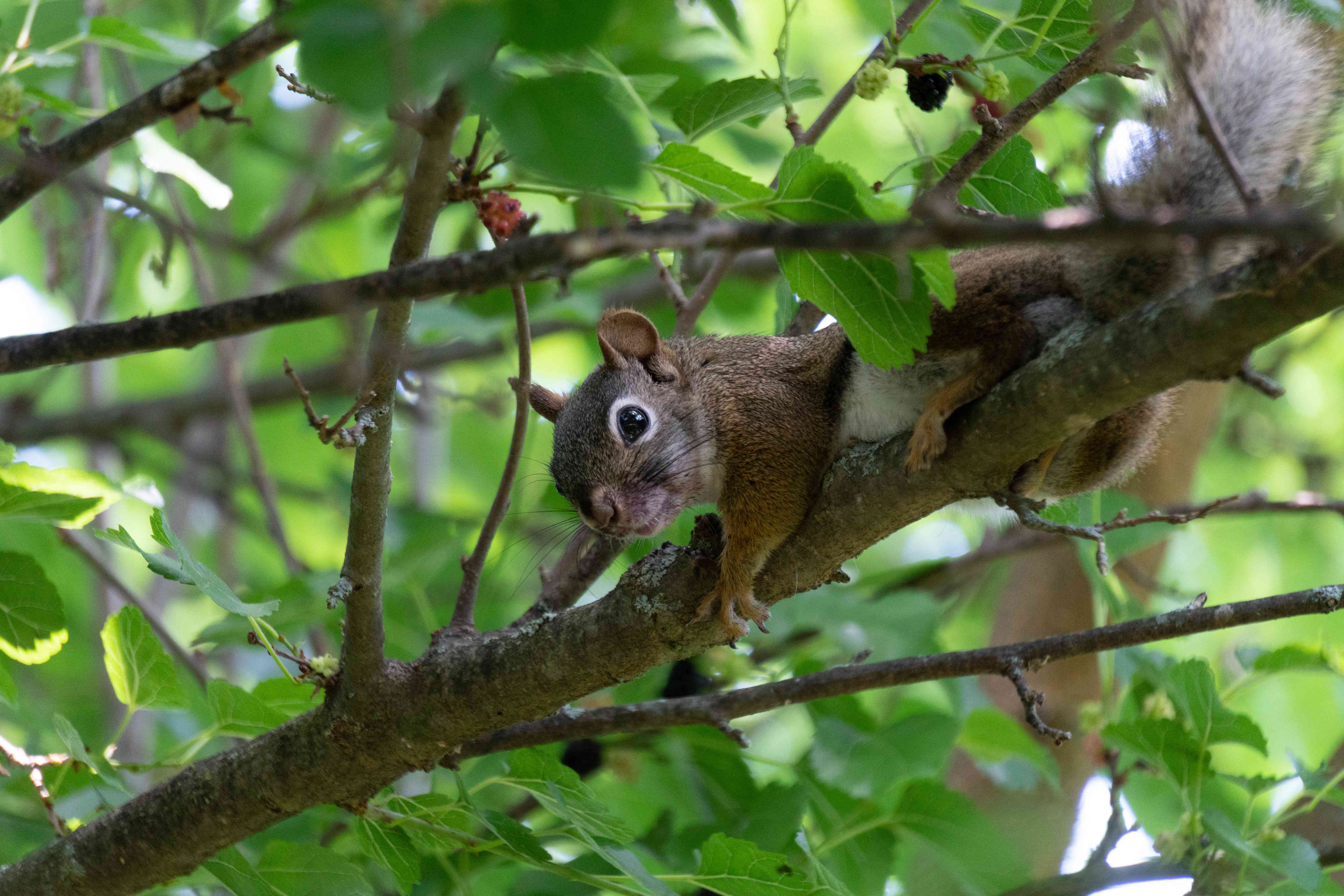 squirrel peeks out from tree branch