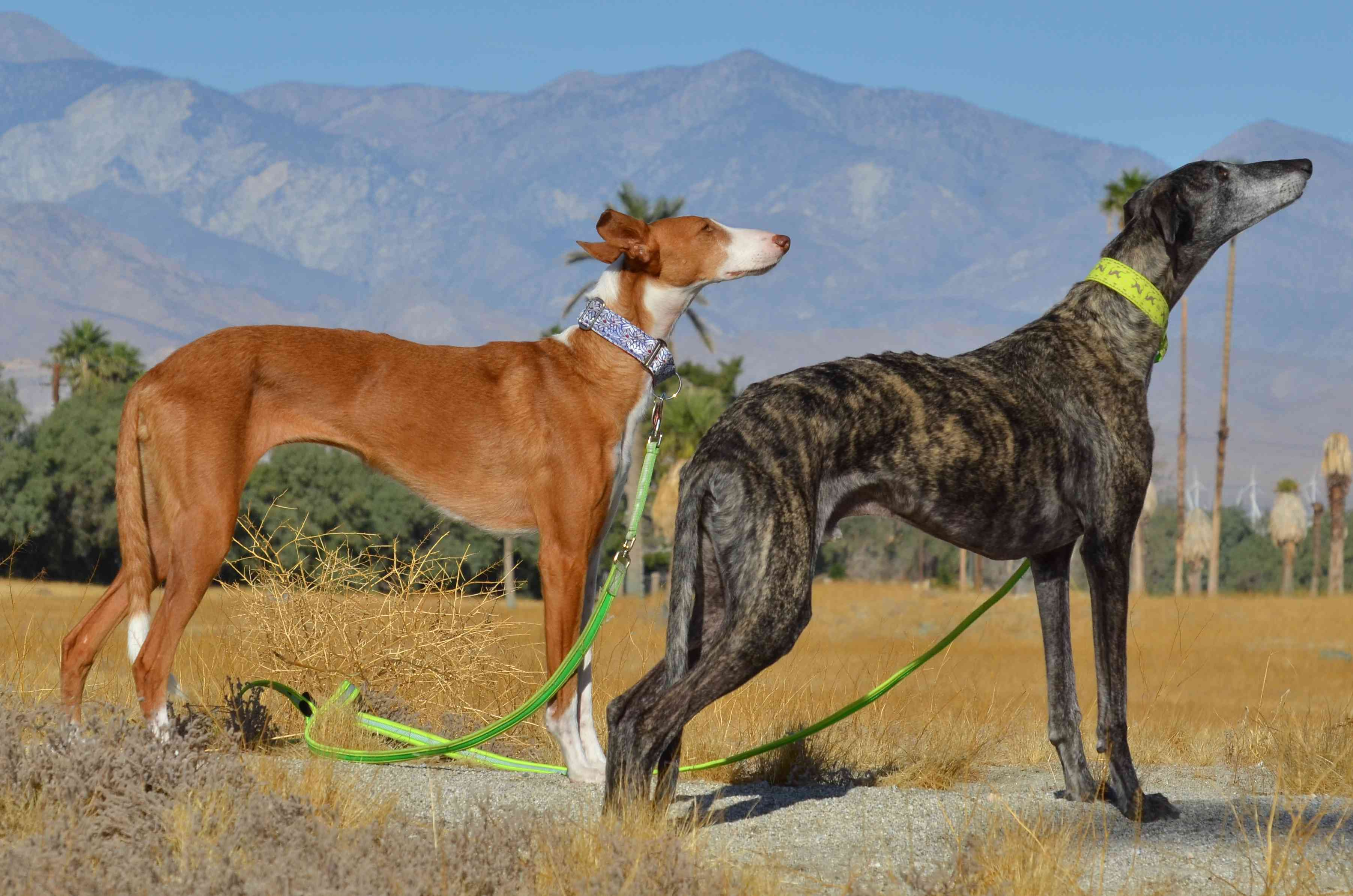 Two galgo with their noses tilted at the sky.