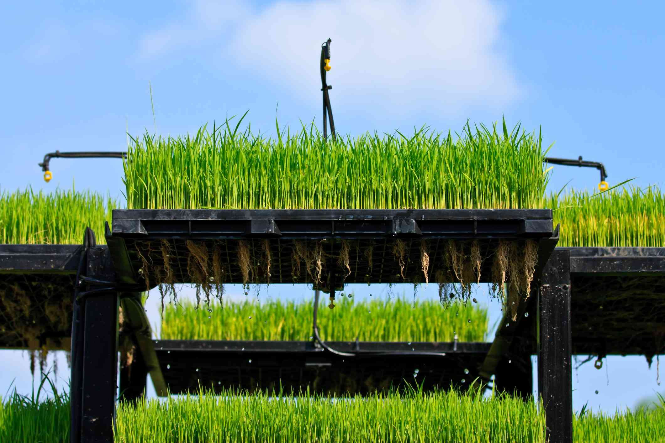 Stacks of aeroponics rice plants