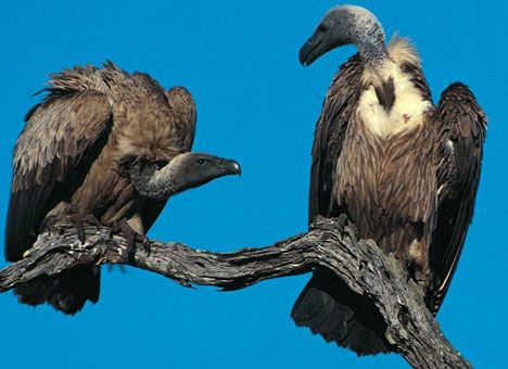 two vultures photo