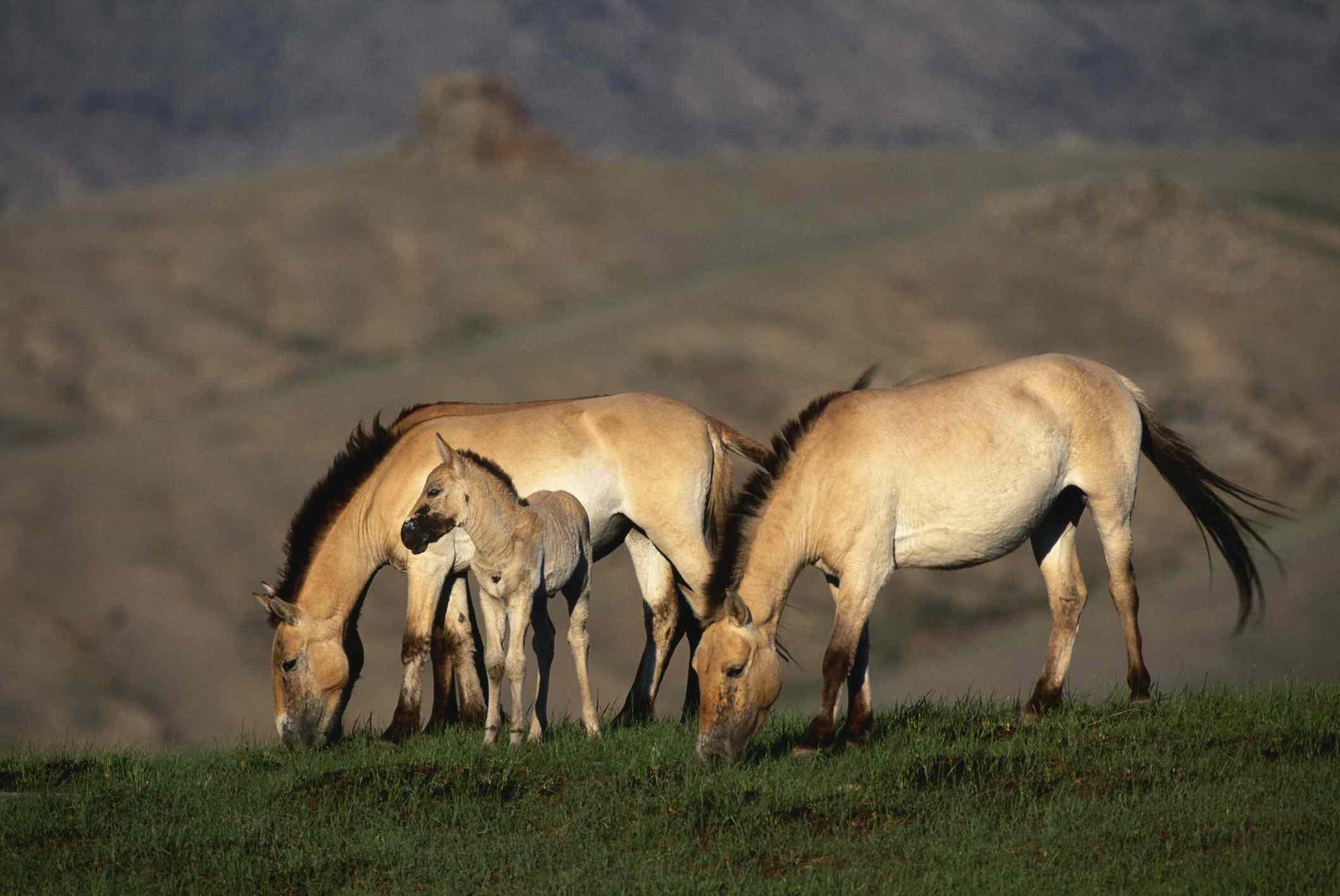 Przewalski's Horses grazing in the Mongolian steppe
