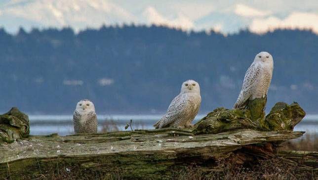 snowy owls on log