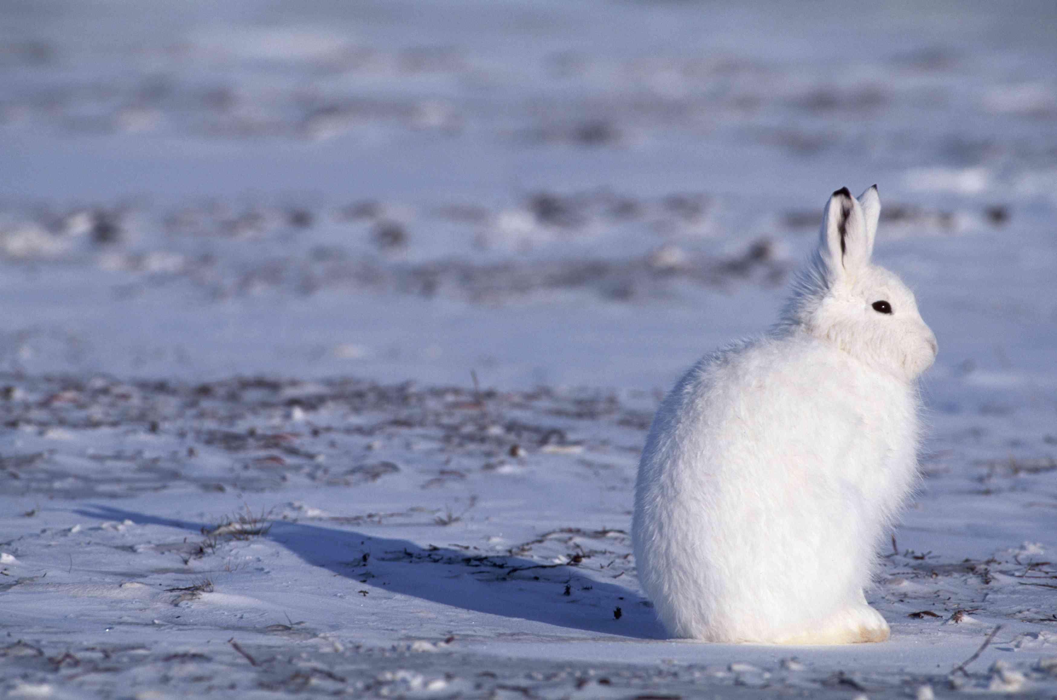 Arctic hare in Canadian Arctic