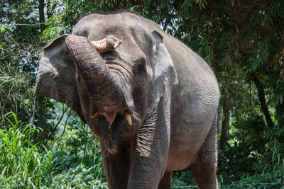 Portrait of an Asian elephant, Indonesia