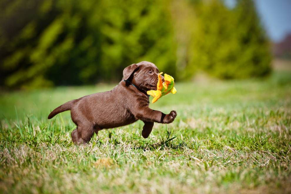 lab puppy running on grass with a toy