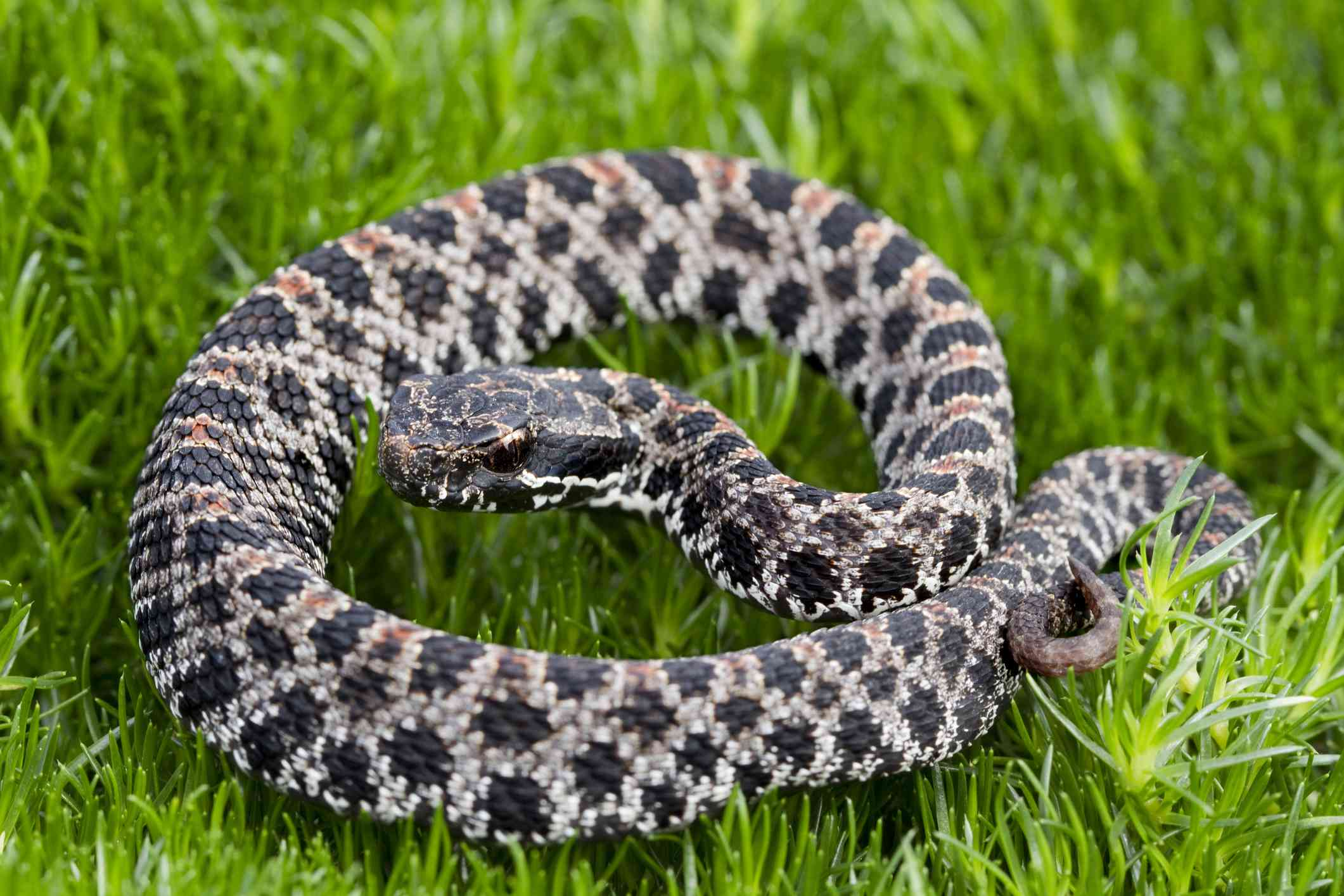 black and white dusky pygmy rattlesnake sits in green grass