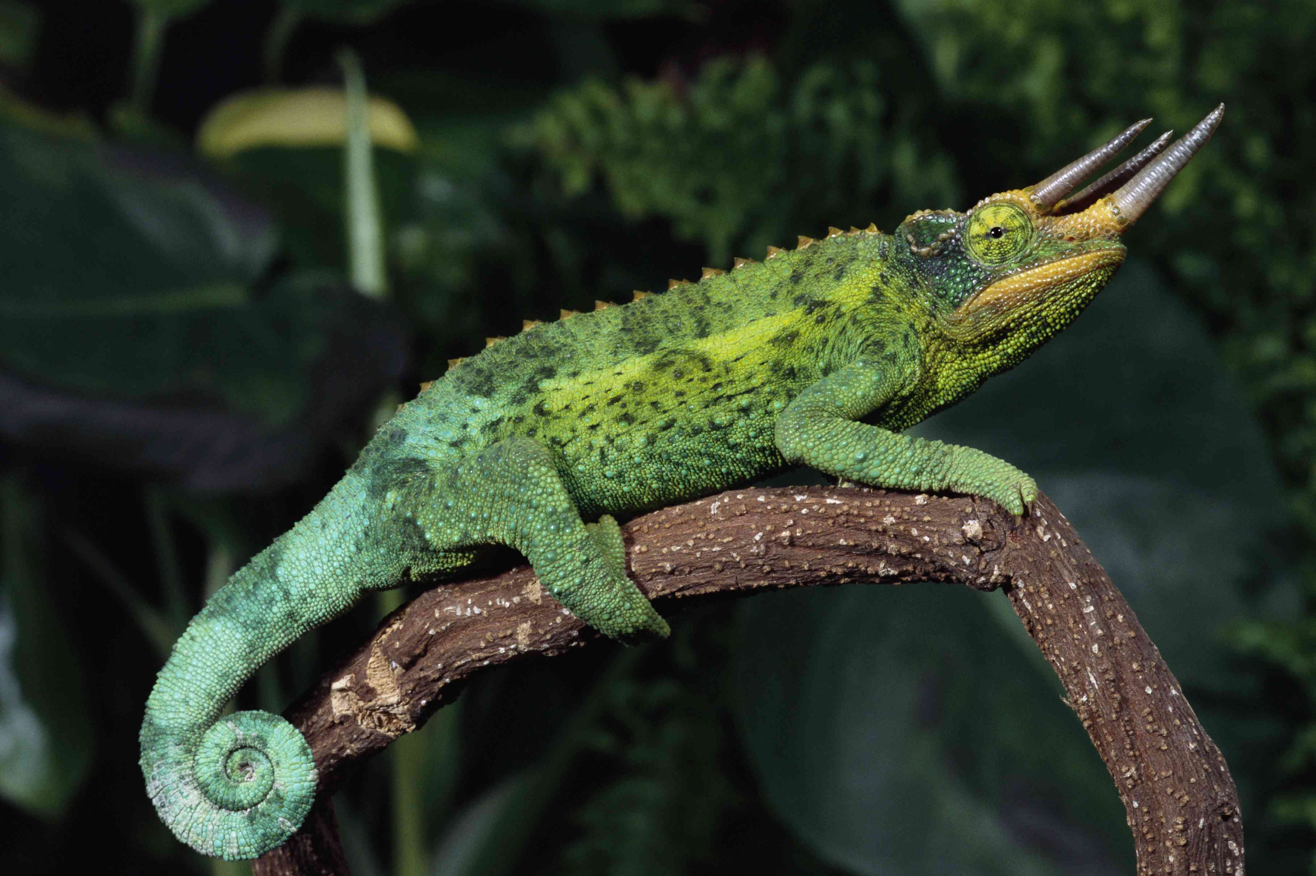 Jackson's Chameleon with curled tail on branch