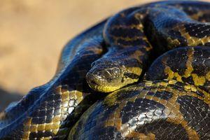 Yellow anaconda laying on the ground
