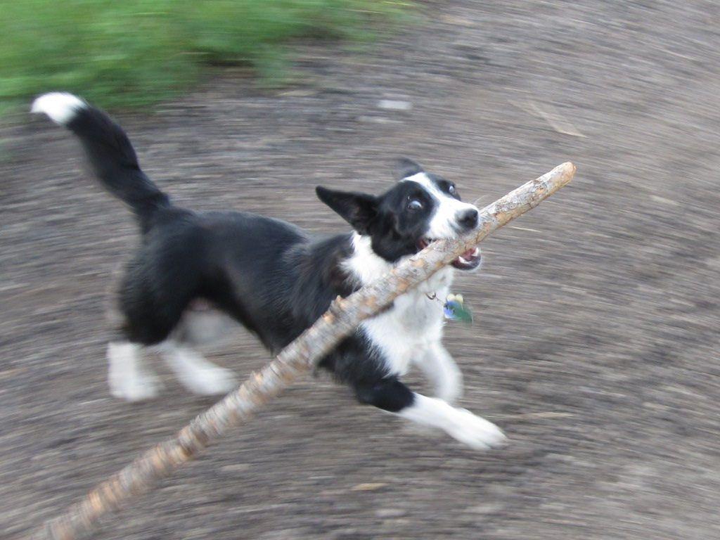 dog with very big stick