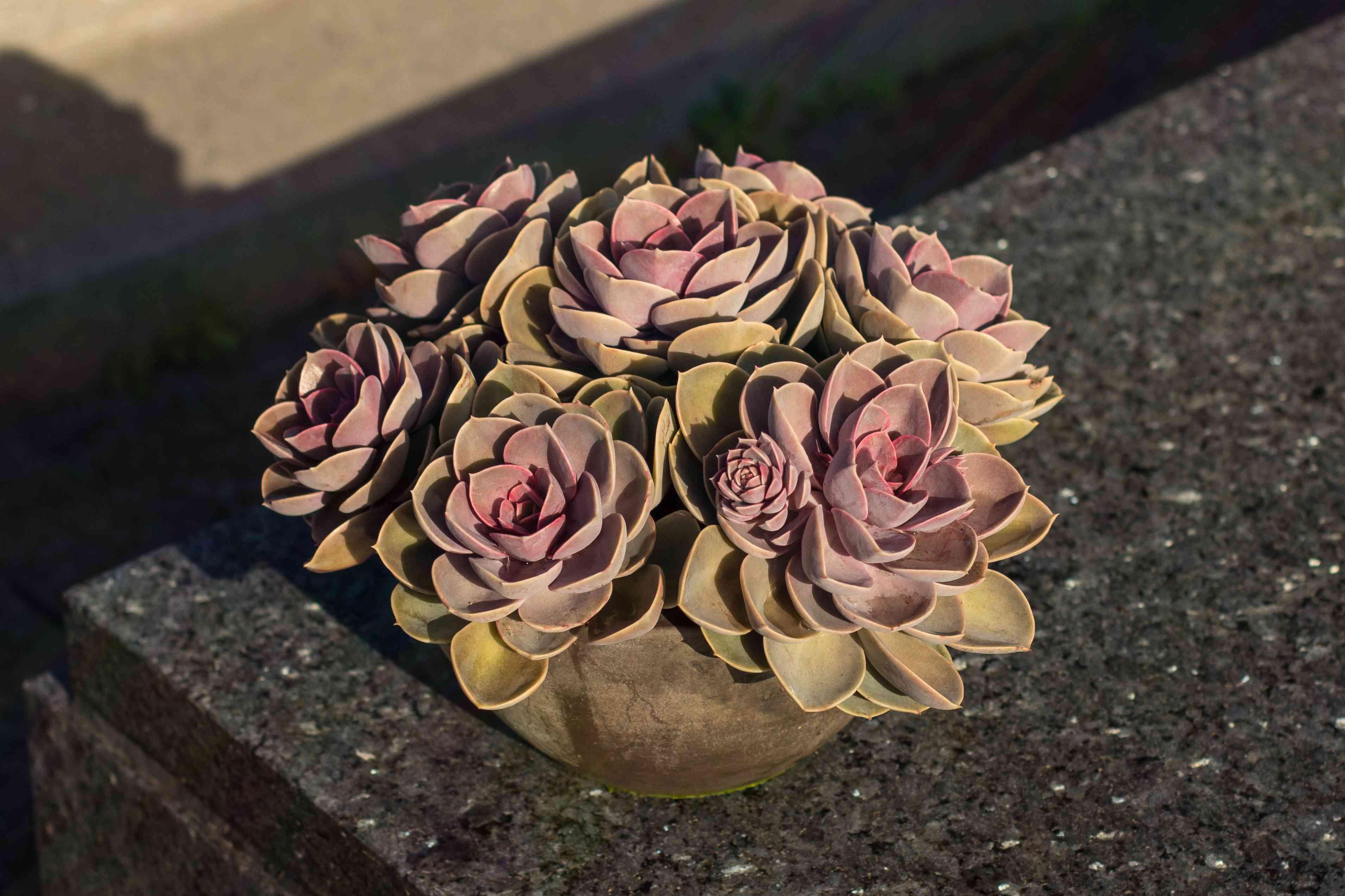 Outdoor succulent Echeveria Perle Von Nurnberg got bright colors due to temperature drop at night. Seven echeverias planted together.