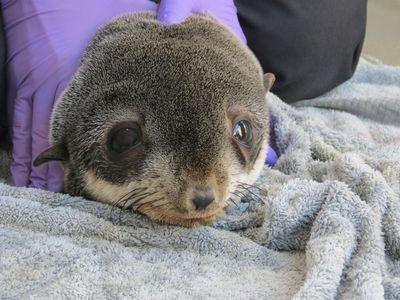 Santos the rescued baby seal, Marine Mammal Center.