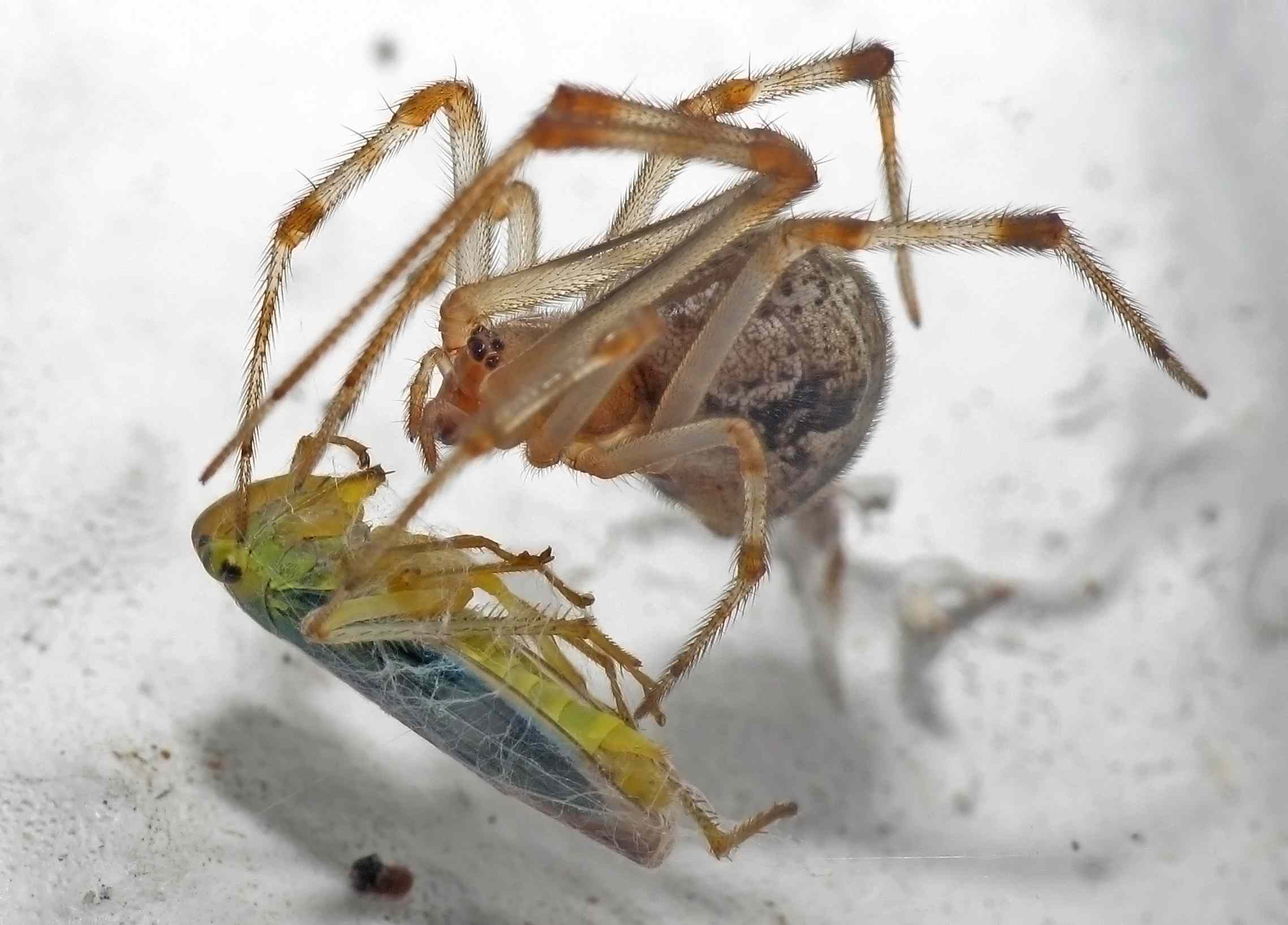 Parasteatoda tepidariorum or American house spider has insect for dinner