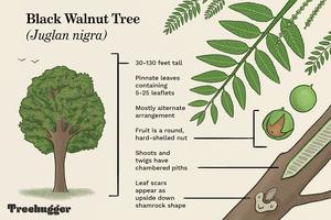 how to identify black walnut tree illustration