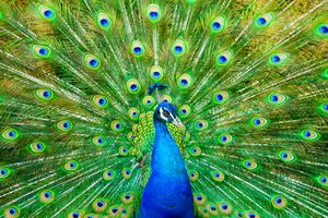 A close up on a peacock with feathers displayed