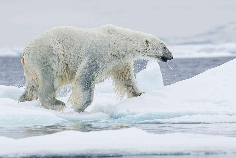 The black skin of an Arctic polar bear