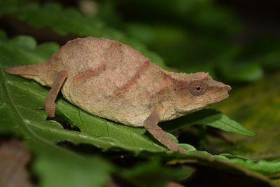 Chapman's pygmy chameleon