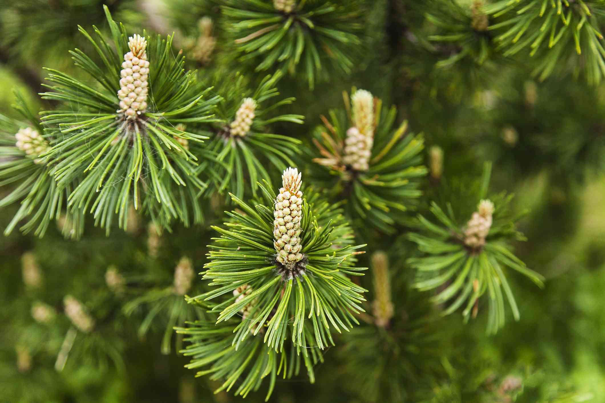 Close-up of mugo pine with tiny cones