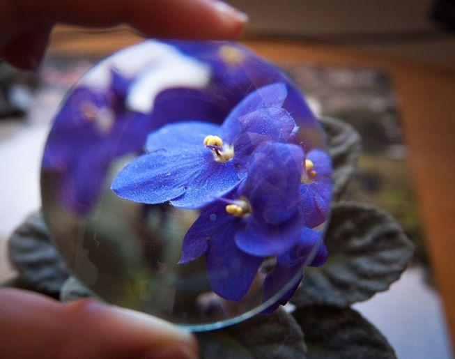 African violets under a magnifying lens