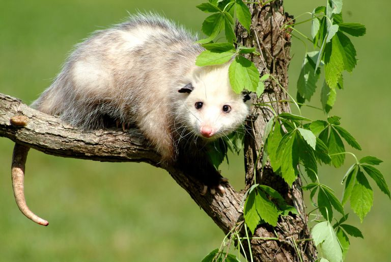 An opossum sitting in a tree on a sunny
