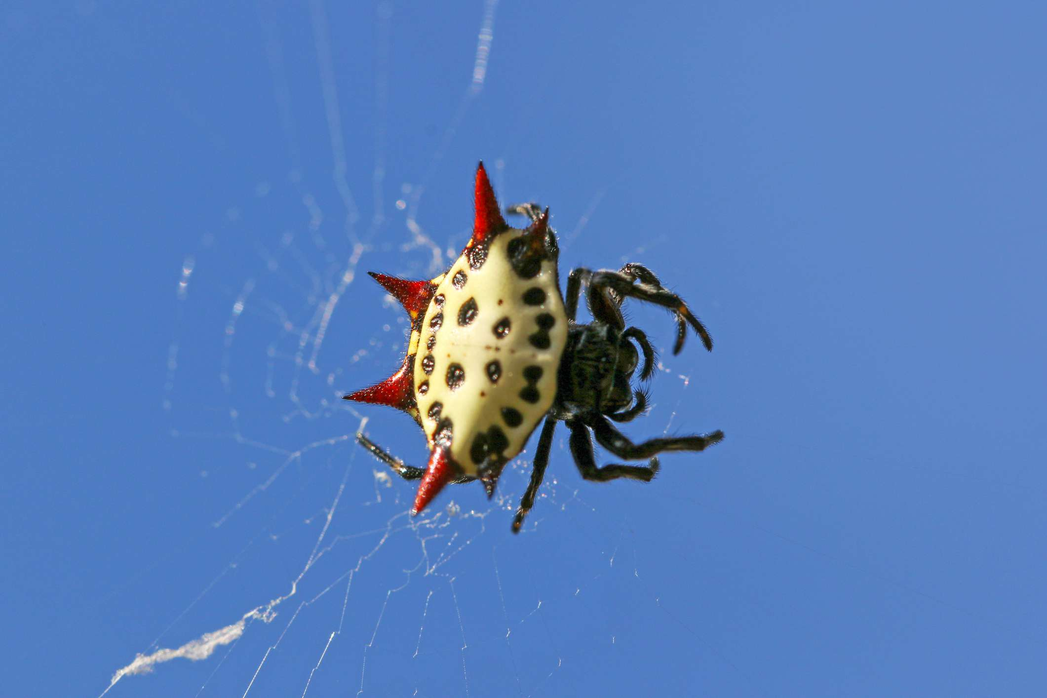 Close up of a spiny-orb spider in a web with four red points sticking up from its abdomen, markings on its abdomen that resemble a face, and black legs in front of a bright blue sky