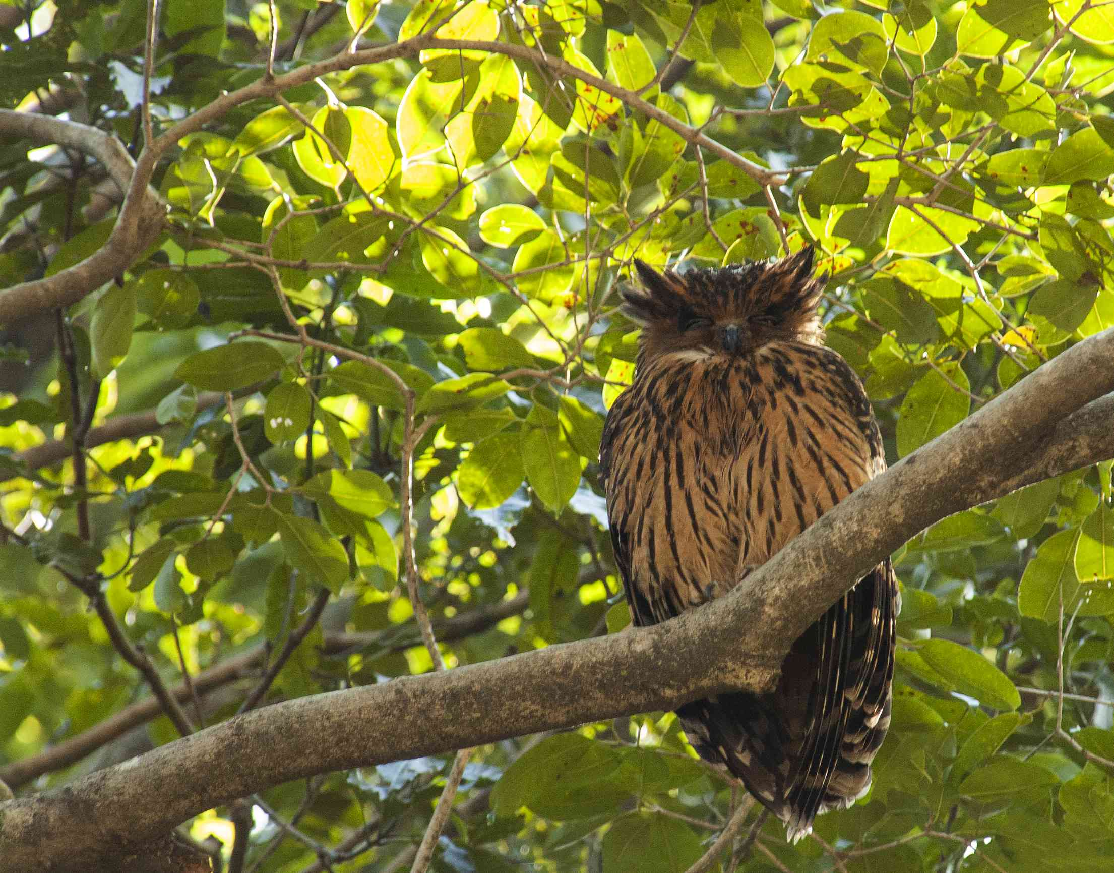 A tawny fish owl sitting on a branch in a tree