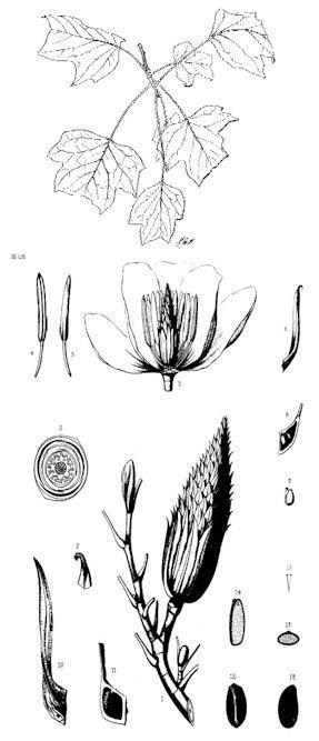 Yellow Poplar, Liriodendron tulipifera
