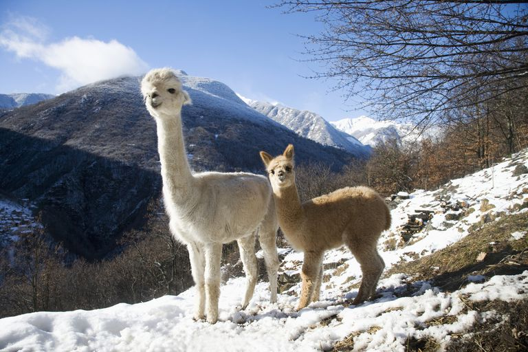 A mother alpaca stands with her baby, or cria, in a mountain landscape