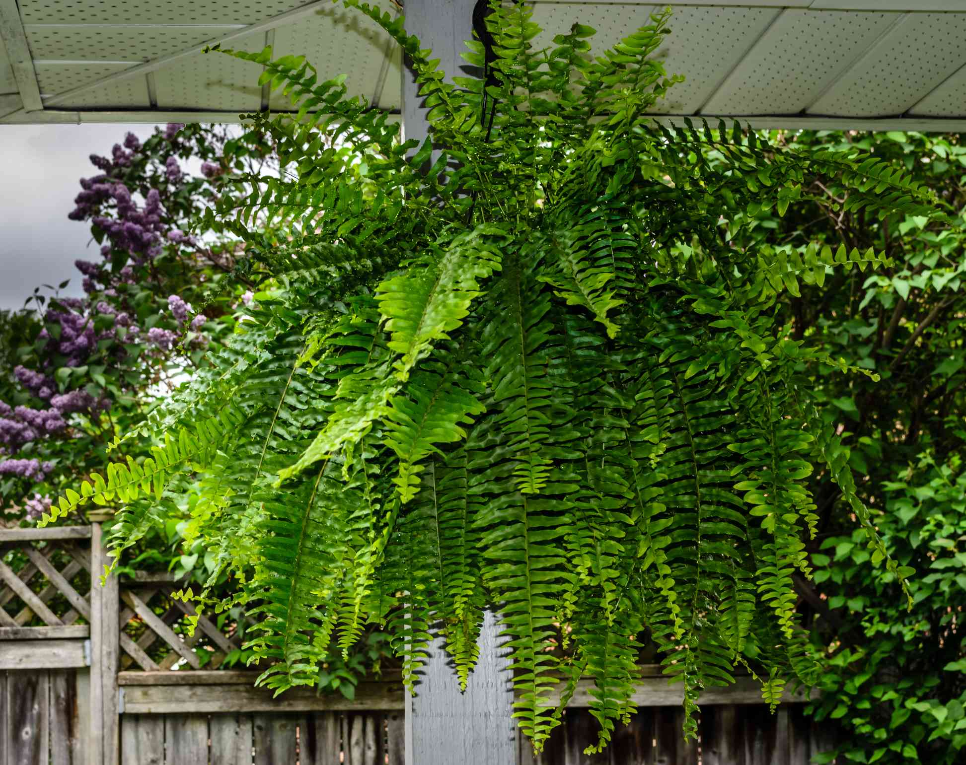 Close-up of a Boston Fern hanging in a porch with lilac flowers and a wooden fence in the background