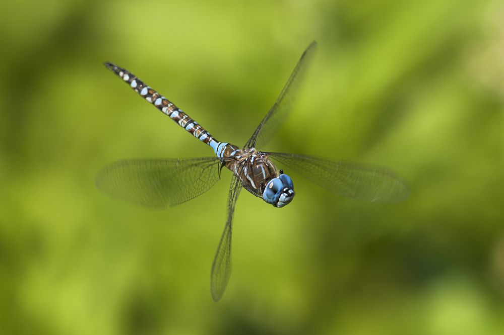 A dragonfly can move its four wings independently from each other.
