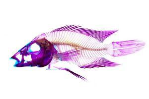 South American cichlid