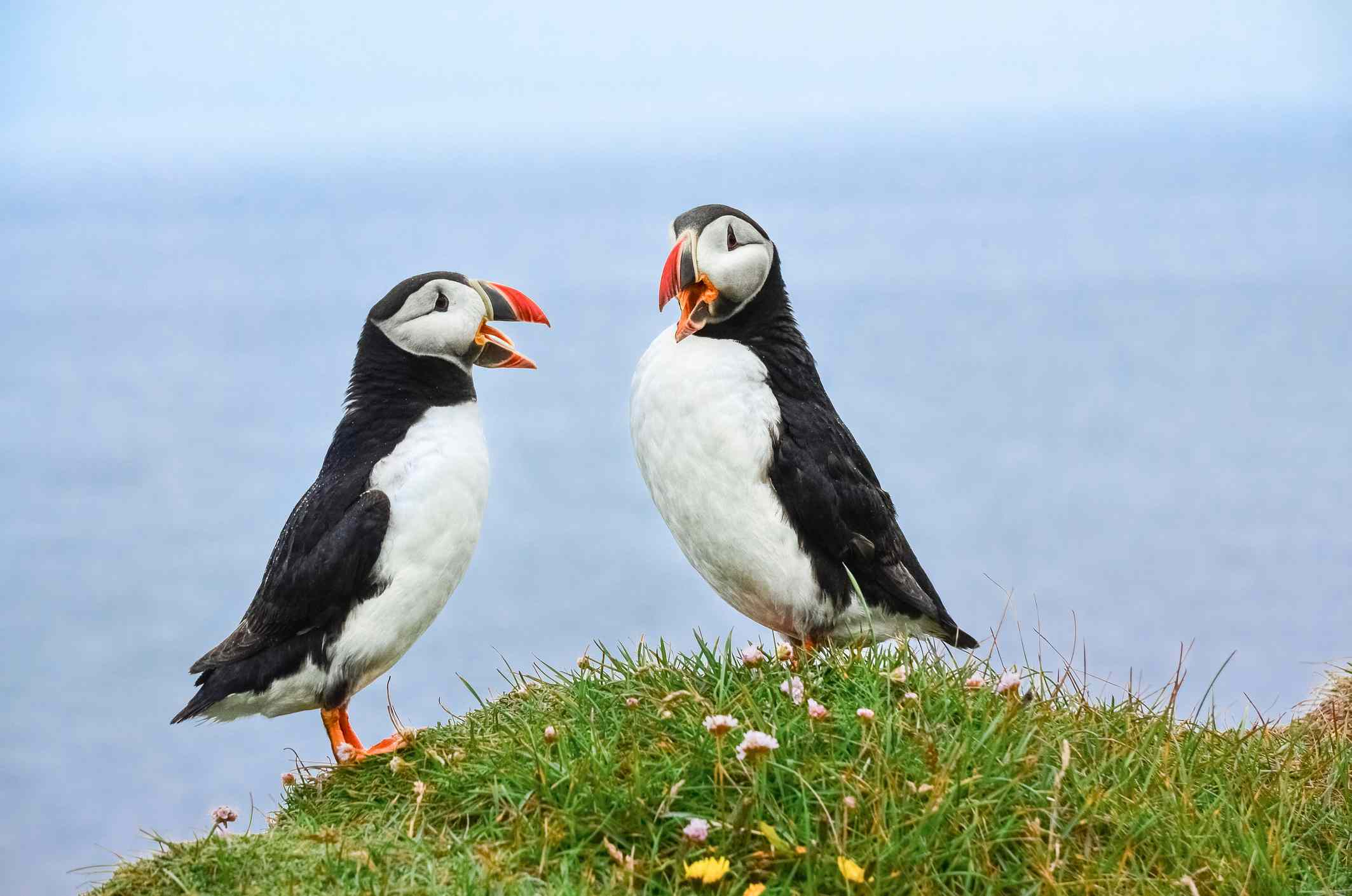 Two Atlantic puffins in Iceland