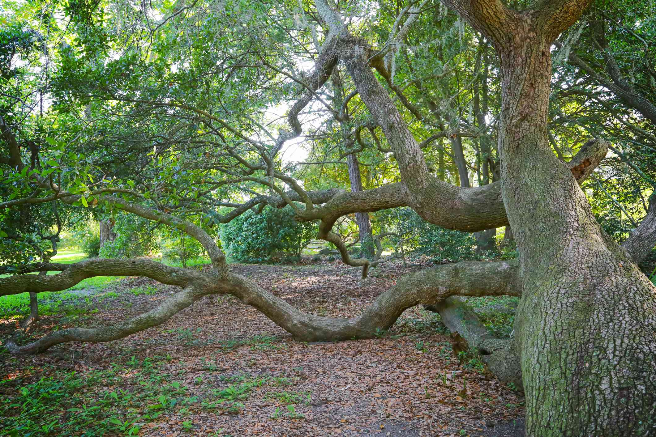 Sprawing branches of a Live Oak tree.