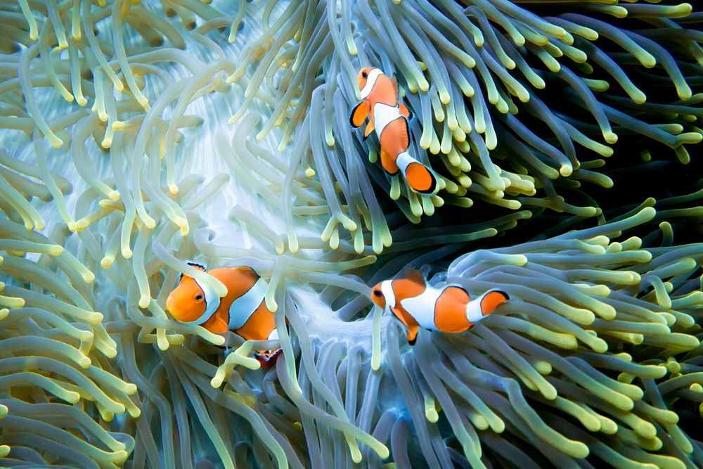 Three clown anemonefish in a large green sea anemone