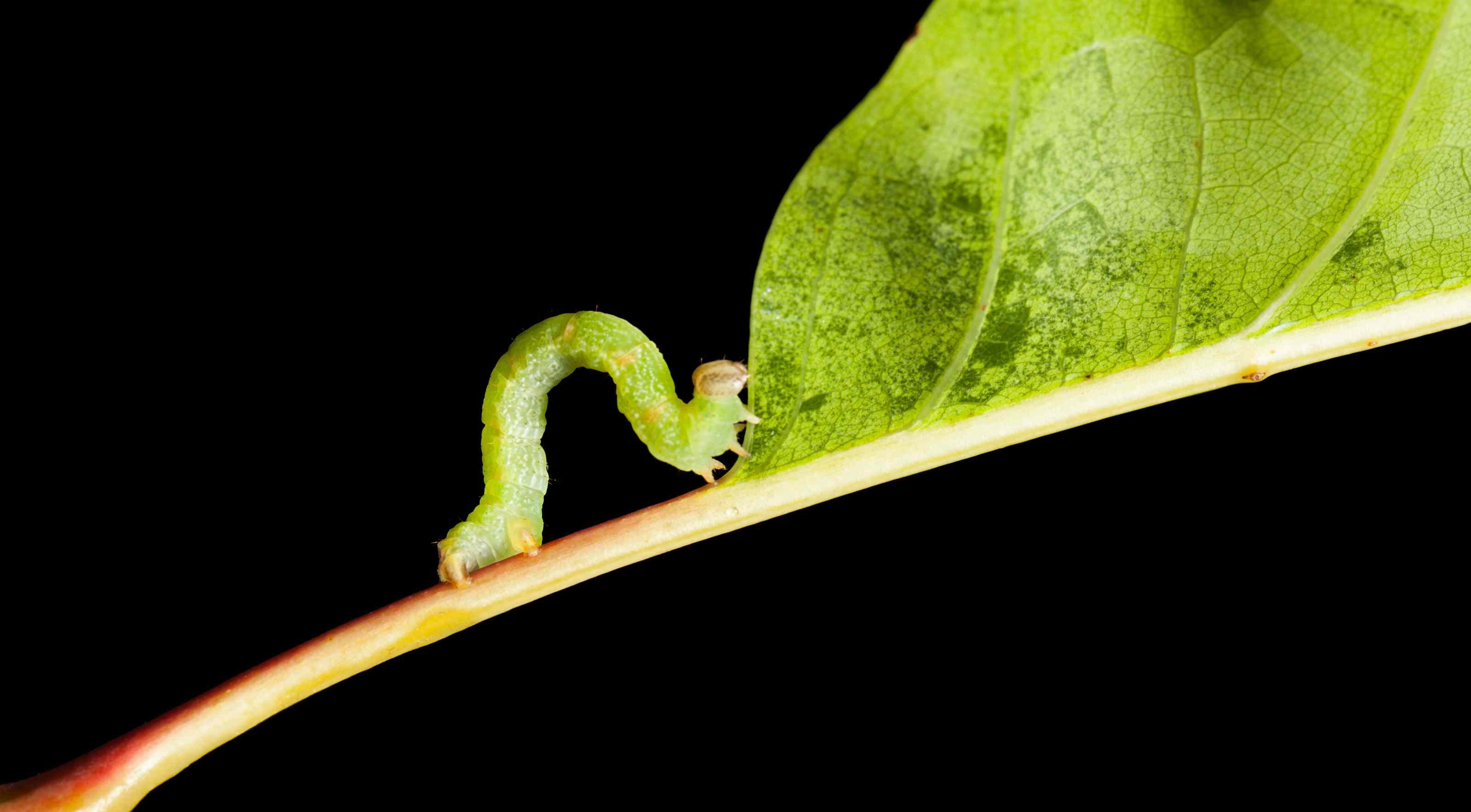 looper caterpillar eating a leaf
