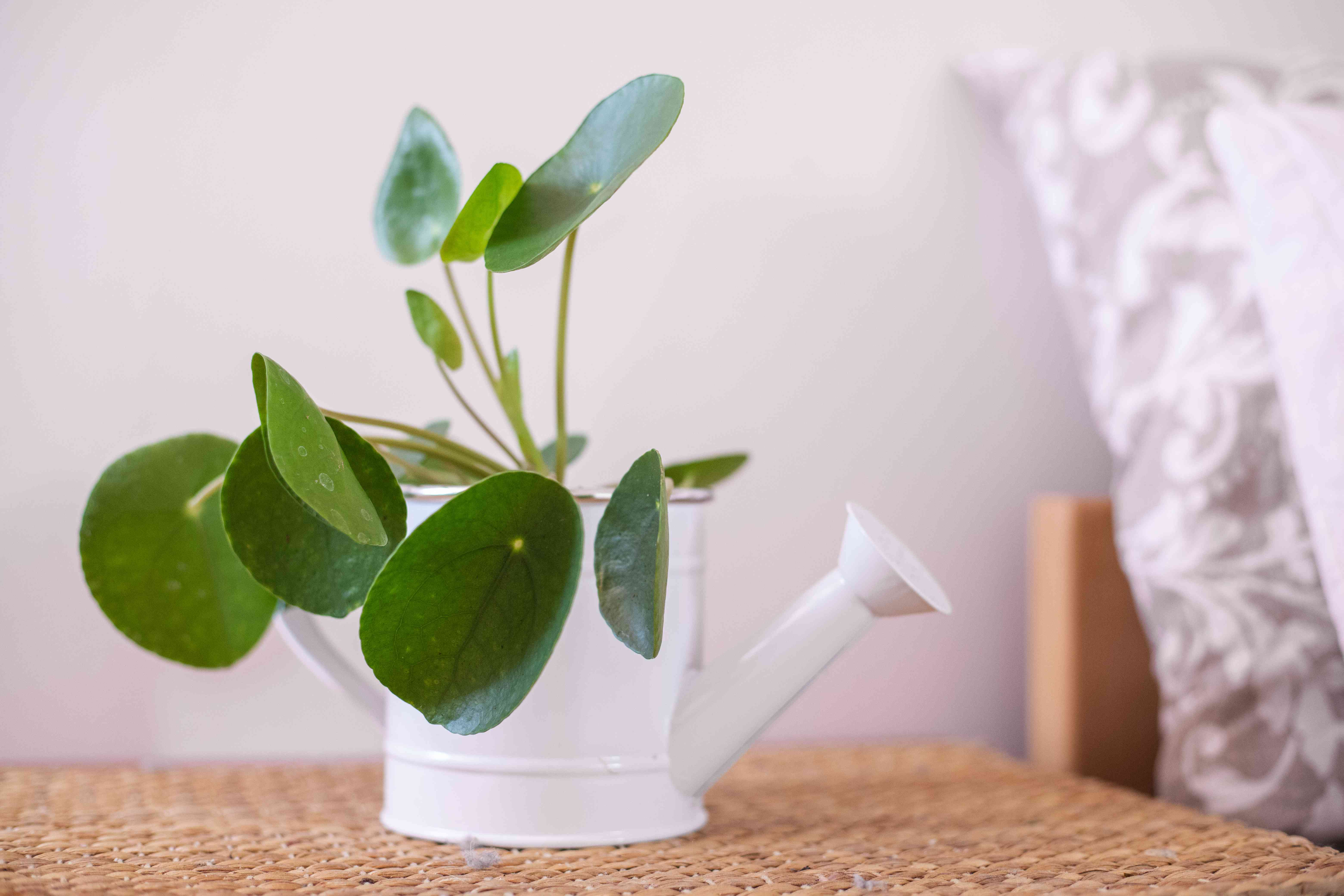 chinese money plant in metal watering container on rattan side table next to pillows