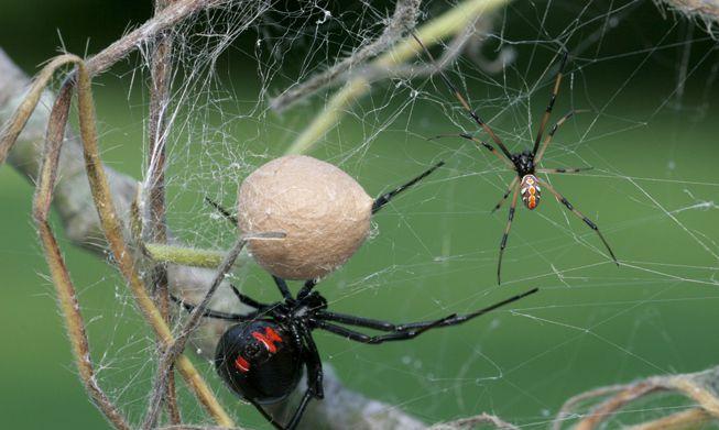 A female black widow spider sits near its egg sac while a male black widow spider approaches