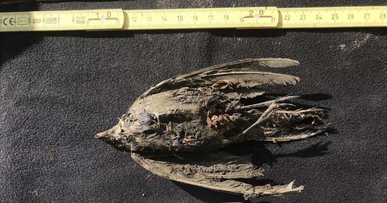 Pájaro congelado de 46.000 años descubierto en Siberia