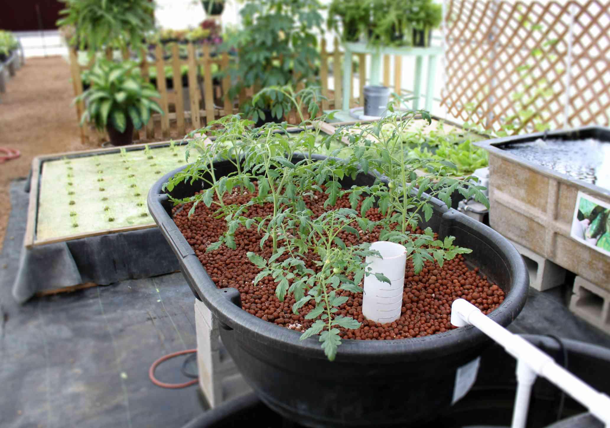 Tomato plants growing in aquaponics system using hydroponics