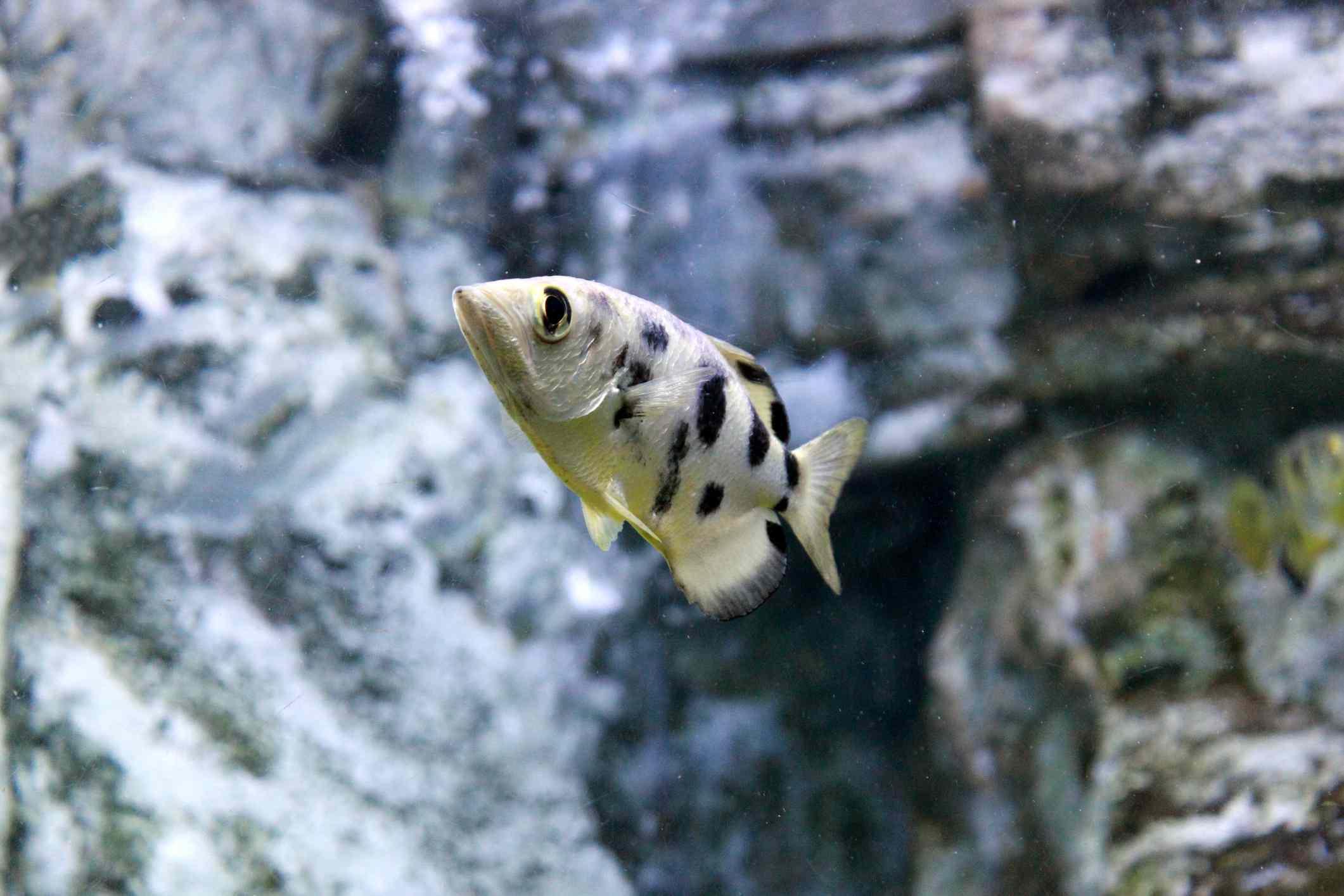 A black spotted archerfish swimming near gray rocks underwater
