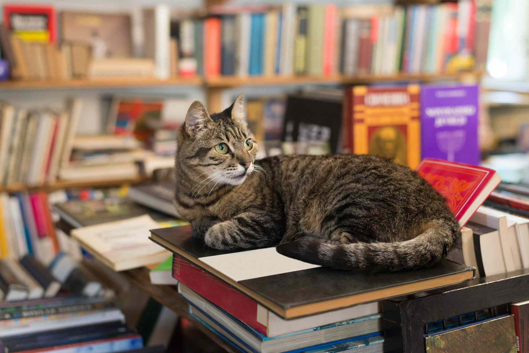cat lying on a stack of colorful books