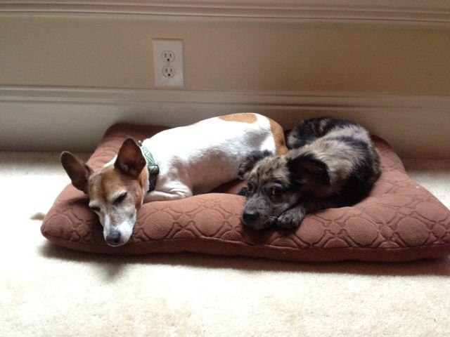 Crash with foster puppy