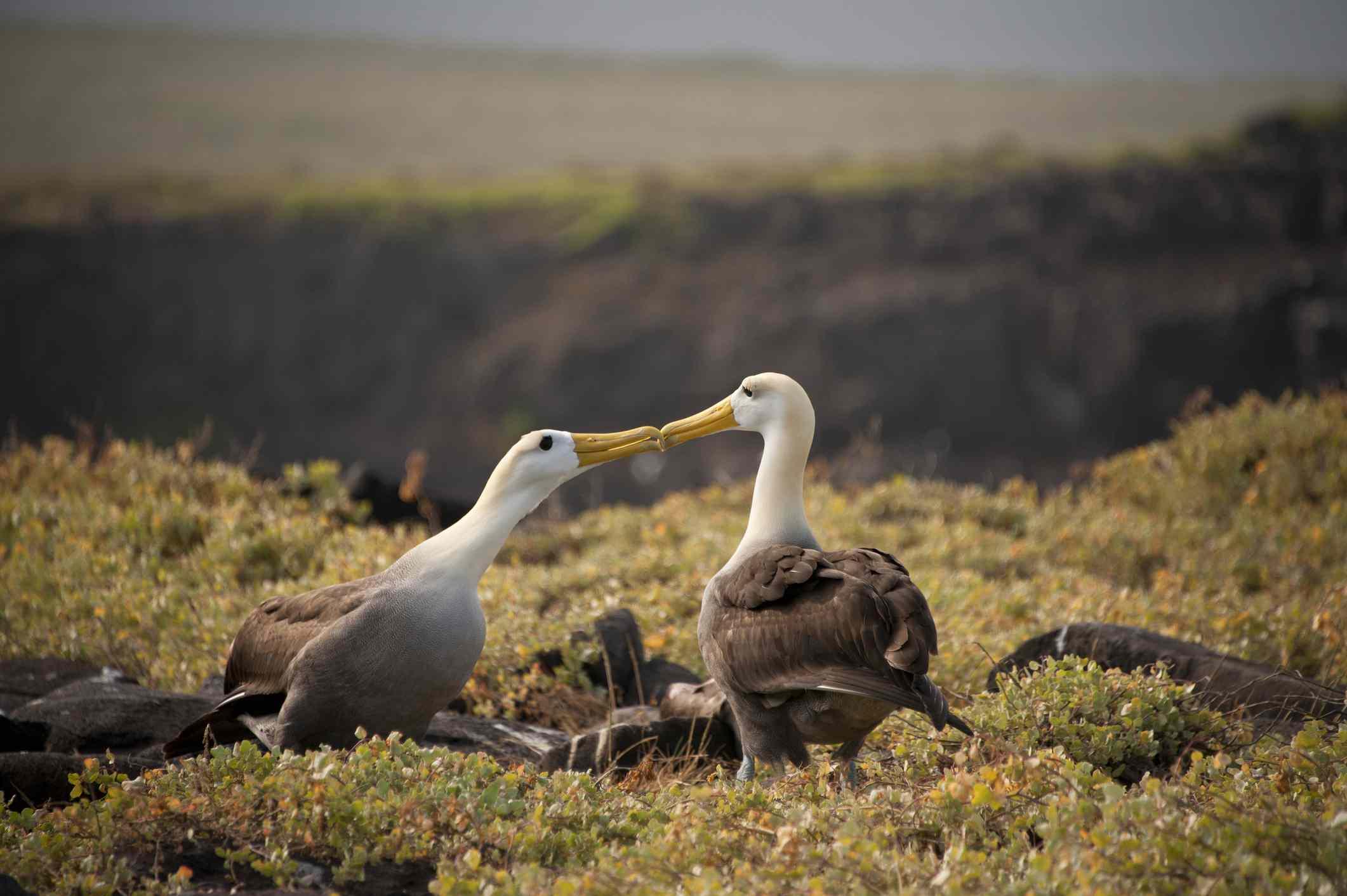 Albatross Birds courting dance, Galapagos Islands, Ecuador